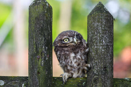 strigiformes: Little owl (Athene noctua) in northern Germany