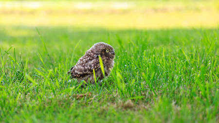 Little owl (Athene noctua) in northern Germany
