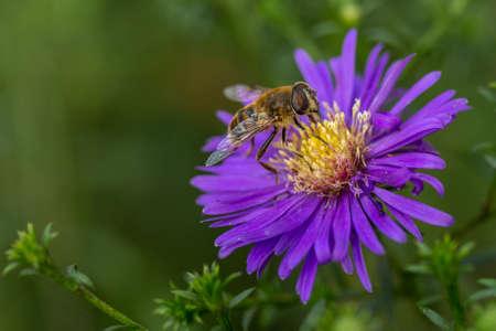 apocrita: A bee on a garden flower