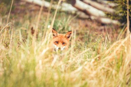 A wild red fox near the village Hirtshals Stock Photo