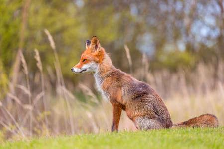 A wild red fox near the village Hirtshals in Denmark Stock Photo