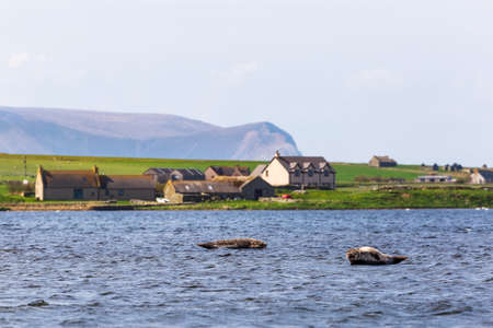 Seals in the Loch Stenness, Orkney Islands