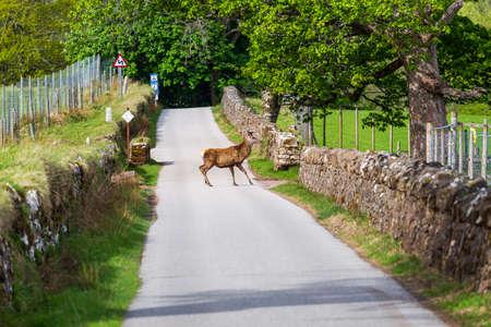 A deer on a street in Applecross, Scotland