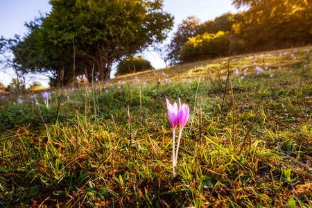 A flower on the little hill Kornbuehl near Burladingen