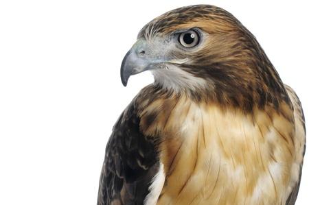 ojos marrones: Red-tailed Hawk cuerpo superior y la cabeza un disparo aislado en un fondo blanco. Foto de archivo