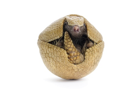 Three banded armadillo on white background. Banco de Imagens - 15983767