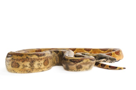 Hog Island Boa Constrictor with tongue out on white backround.