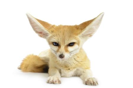 Fennec Fox  Vulpes zerda  isolated on white background
