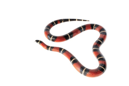 Nelsons milksnake  lampropeltis triangulum nelsoni  isolated on white background  photo