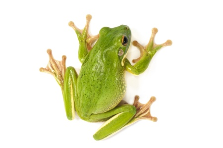 White Lipped Tree Frog  on a white background  photo