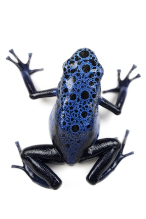 poison dart frogs: Azure Poison Dart Frog on white background.