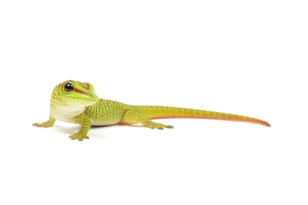 animal related: Madagascar day gecko on white background.