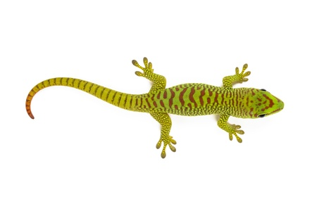 animal related: Madagascar day gecko on white background.