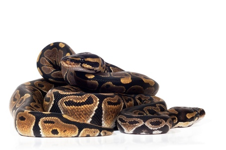 pythons: Two Ball Pythons on white background.