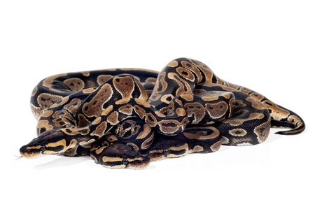 pythons: Several Ball Pythons in a knot on white background.