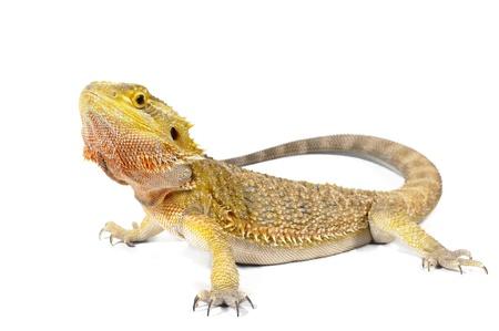 lagartija: Drag�n barbudo sobre fondo blanco.