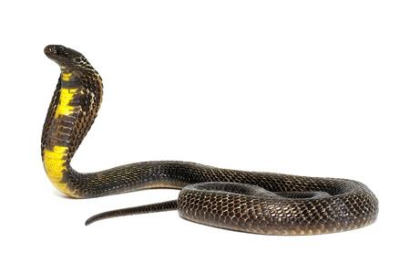 Zwarte Pakistaanse Cobra op witte achtergrond Stockfoto - 15983913