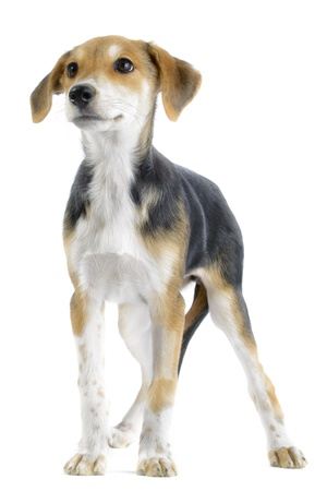 beagle mix: Border collie beagle  canis lupus familiaris  mix puppy isolated on white background Stock Photo