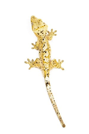 crested gecko: Crested gecko on white background Stock Photo