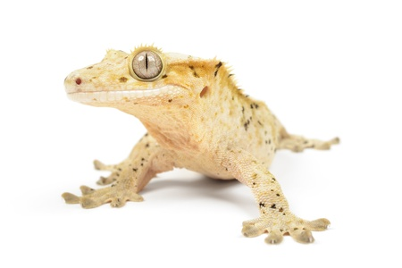 crested gecko: Crested gecko on white background