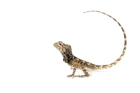 frilled: Frilled Dragon on a white background