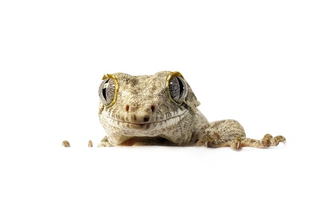 gargouille: Gargoyle Gecko sur fond blanc