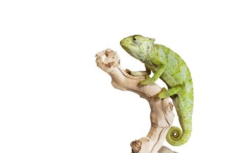 sauri: Chameleon Graceful su sfondo bianco