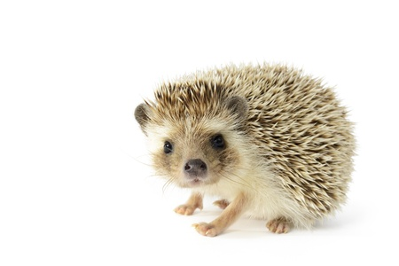 Hedgehog  erinaceus albiventris  isolated on white background  photo