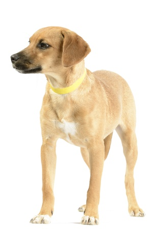 familiaris: Hound mix  canis lupus familiaris  puppy isolated on white
