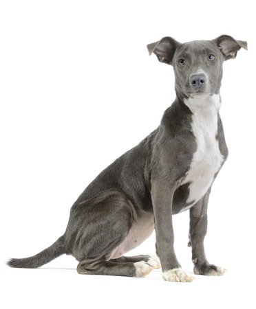 familiaris: Hound pitbull weimaraner mix  canis lupus familiaris  puppy isolated on white background