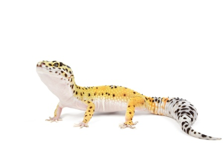 Leopard gecko on white background. Banco de Imagens