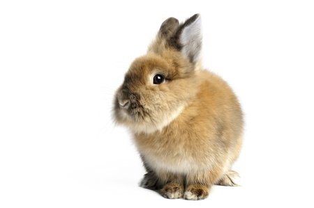 lionhead: Lionhead Rabbit on white  background.