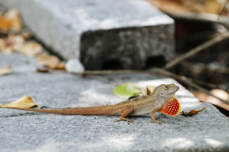 puerto rican: Close-up of Puerto Rican Crested Anole