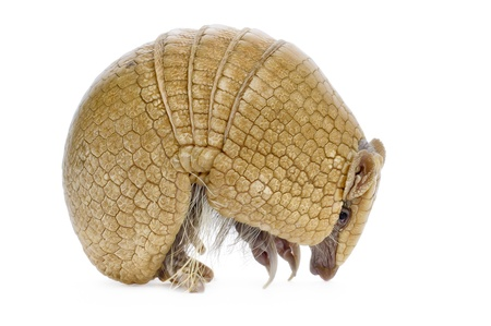 Three banded armadillo on white background