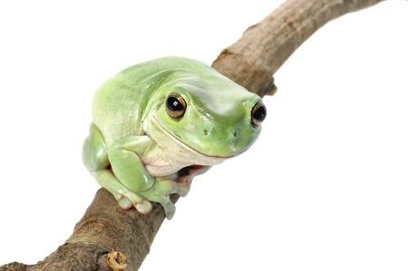 Whites Tree Frog on a white background  photo