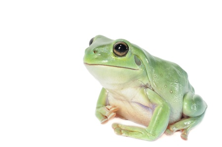 Whites Tree Frog on a white background