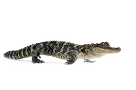 alligator: Young American Alligator on white background