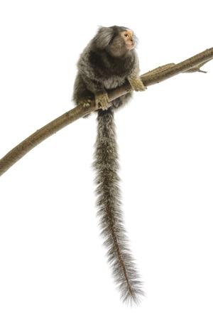 Marmoset monkey on white background Banco de Imagens
