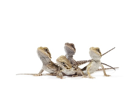Baby Bearded Dragons on white background. Banco de Imagens - 16269605