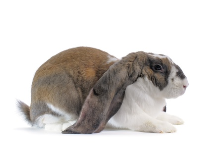 lop: An English Lop Rabbit on white background  Stock Photo