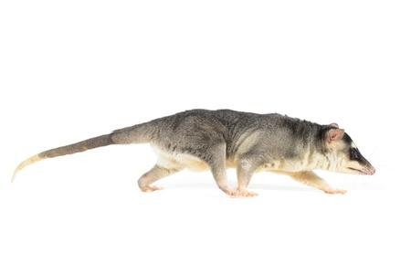 four eyed opossum on white