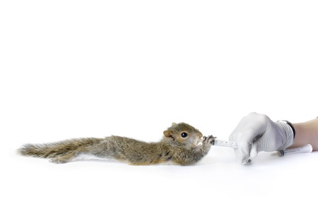 A vetrinary technician feeds a young squirrel from a syringe Banco de Imagens - 16269612