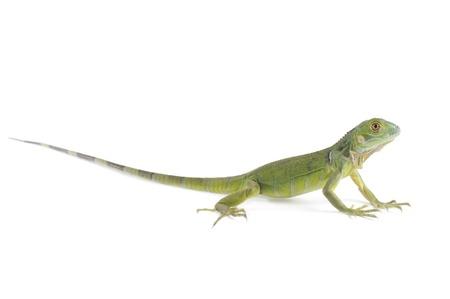 Baby iguana isolated on white background