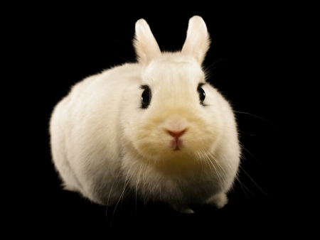 Dwarf hotot rabbit isolated on black background