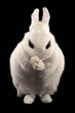 Plotting dwarf hotot rabbit isolated on black background