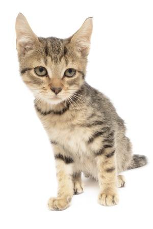 Brown tabby kitten in front of white background. Reklamní fotografie