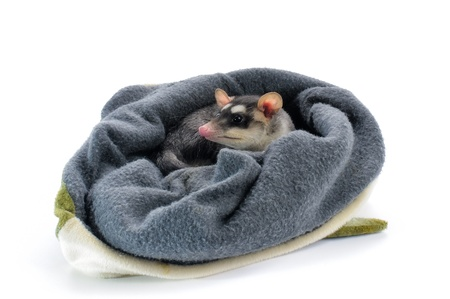 opossum: Young Four-eyed Opossum on white.