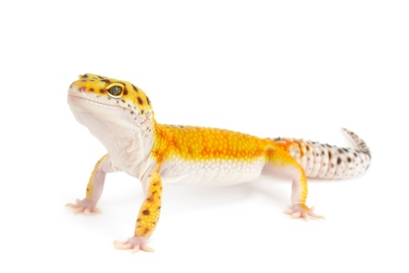 jaszczurka: Gold Band Leopard Gecko Isolated in front of white background.