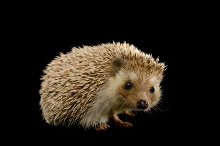Cute hedgehog on black background. 版權商用圖片