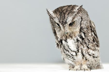 Screech Owl on light background. 版權商用圖片